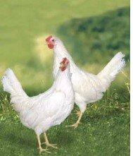 Atabey Tavukları