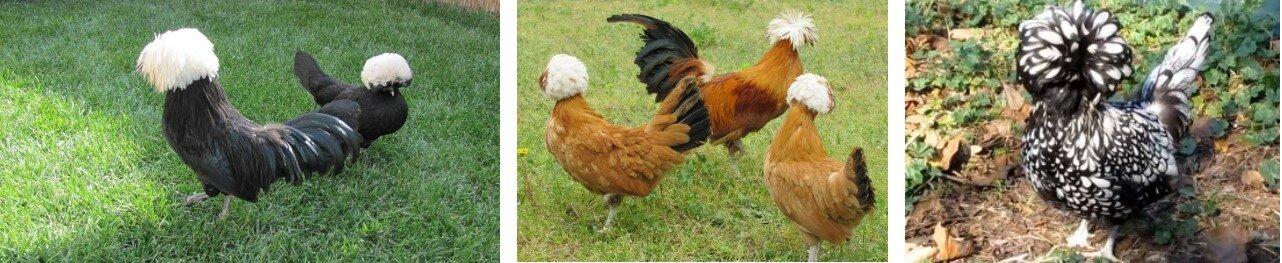 En Çok Tavuk Verimi Yapan Tavuklar