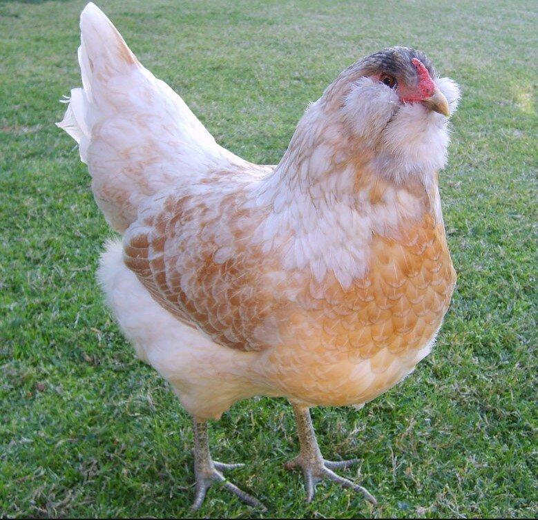 en fazla para kazandıran tavuk cinsleri