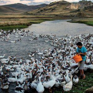 Kaz Çiftliği Nasıl Kurulur? 500 Kapasiteli Kümes Projesi Maliyeti 2021