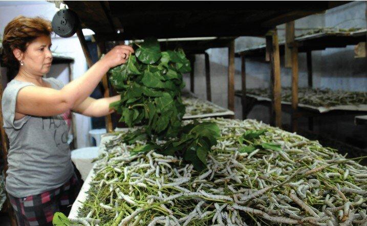 Devlet Destekli İpek Böceği Yetiştiriciliği Hazır Proje Örneği