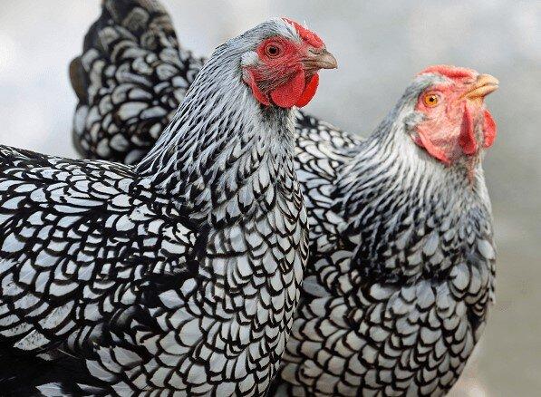 En Çok Yumurta Yapan Tavuk Cinsleri 2021